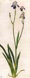 A. Dürer, Iris (1503)